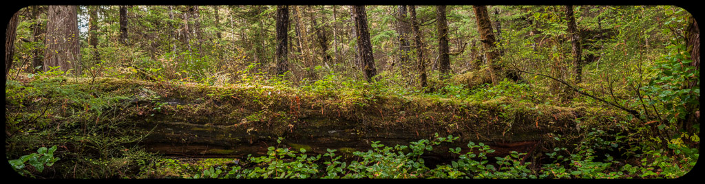 Nurse Log, Butze Rapids Trail, Prince Rupert, BC